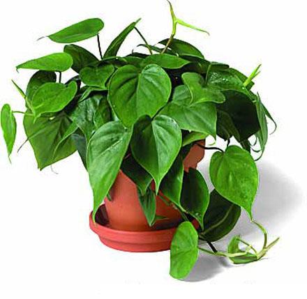 Это полуодревесневшие растения с листьями, имеющими достаточно...